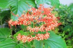 Beautiful Clerodendrum Paniculatum Flowers or Pagoda Flowers Royalty Free Stock Photo