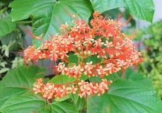Beautiful Clerodendrum Paniculatum Flowers or Pagoda Flowers Stock Image