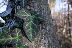 Beautiful climbing ivy. Ona  tree Royalty Free Stock Photos