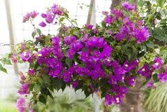 Beautiful climbing mauve flowers Royalty Free Stock Photos