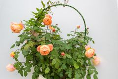 Beautiful Climbing orange rose flower. Over the white wall background royalty free stock photo