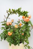 Beautiful Climbing orange rose flower. Over the white wall background royalty free stock photography