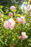Beautiful, climbing pink roses Royalty Free Stock Images