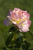 Beautiful Climbing Pink & Yellow Peace Rose Royalty Free Stock Photos