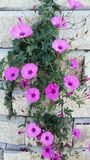 Creeper plant decorating the wall. Beautiful climbing plant with flowers decorating a wall. Vines plant or creeper plant known by the names mallow bindweed and Stock Photography
