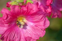 Bee covered with pollen from fuchsia flower. Beautiful close-up of a bee covered with pollen from a colorful flower with morning dew on the petals taken with royalty free stock images