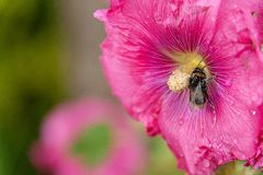 Bee covered with pollen from fuchsia flower. Beautiful close-up of a bee covered with pollen from a colorful flower with morning dew on the petals taken with royalty free stock image