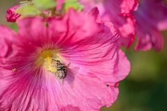 Bee covered with pollen from fuchsia flower. Beautiful close-up of a bee covered with pollen from a colorful flower with morning dew on the petals taken with royalty free stock photo