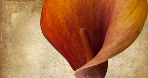 Beautiful close up bronze calla lily Royalty Free Stock Images