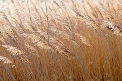 Beautiful close-up of brown dry grass stems on autumn day Royalty Free Stock Photography