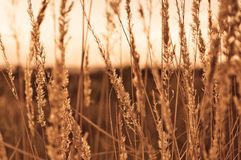 Beautiful close-up of brown dry grass stems on sunset on autumn day Royalty Free Stock Images