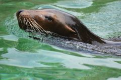 Smooth Looking Sea Lion Swimming in the Water. Beautiful Close Up of a Brown Sea Lion Royalty Free Stock Photo