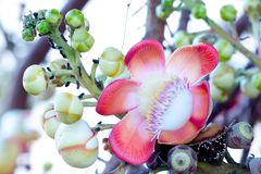 Beautiful close-up of Cannonball tree flowers (Couroupita guianensis) Stock Photo