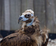 Beautiful close-up of the Cinereous vulture. Bird Stock Photo