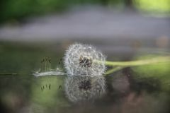Beautiful  close up a dandelion reflecting in water background stock photos