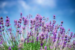 Beautiful close up of a field of lavender flowers with the blue sky. Beautiful close up of a field of lavender flowers with the blue sky stock image