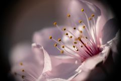 Beautiful close up flowers prunus cerasifera nigra. Picture taken in the Netherlands stock images