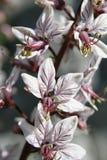 Beautiful close-up of Fraxinella or Burning bush stock images