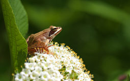 Beautiful close up with tree frog and blossomed vi Royalty Free Stock Photography