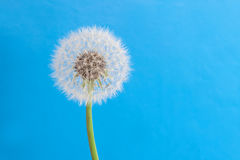 Beautiful close up, full focus dandelion flowers Royalty Free Stock Photography