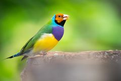 Gouldian Finch feeding stock image