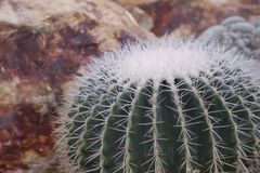Beautiful close-up green cactus in desert royalty free stock images