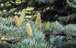 Beautiful close-up growing male cones on the branches of Cedar Tree Cedrus libani or Lebanon Cedar in Sevastopol stock images