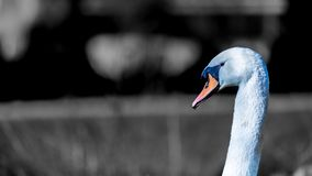 Beautiful close up of the head of a white swan with a black & white background stock photos