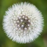 Beautiful close up image of dandelion seed head on lush green ba Royalty Free Stock Photos