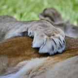 Beautiful close up image of female African Lion Panthera Leo Leo Stock Image