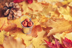 Beautiful close up image shot with colorful yellow red dry autumn fall maple leaves, bucket with pumpkin pods and pine cone Stock Photos