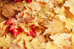 Beautiful close up image shot with colorful yellow red dry autumn fall maple leaves, fall season, view from above, card wallpaper,. Textured background Royalty Free Stock Images