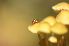 Beautiful close up with ladybug and mushrooms Royalty Free Stock Photo