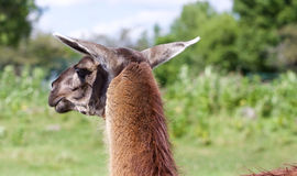The beautiful close-up of the lama looking afield. The beautiful close-up of the brown llama looking afield Royalty Free Stock Photo