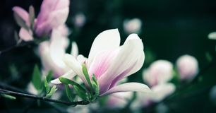 Beautiful close up magnolia flowers. Blooming magnolia tree in the spring. Selective focus stock images