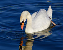 Beautiful close-up of the mute swan looking to the mirror of the water Royalty Free Stock Photos