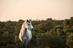 Beautiful close up of New Forest pony Royalty Free Stock Photos