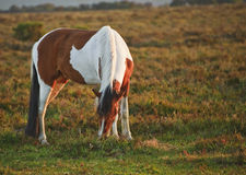 Beautiful close up of New Forest pony horse Royalty Free Stock Photo