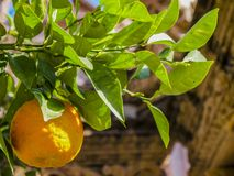 Beautiful close up of an orange tree branch with its leaves and an orange royalty free stock photos