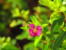Beautiful close up photo of small purple flower with blurred green background. In the garden Royalty Free Stock Photos