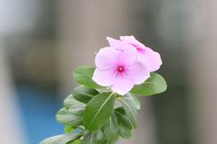 Beautiful close up of pink flower. royalty free stock photos