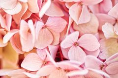 Beautiful close up of pink Hydrangea delicate flowers royalty free stock image