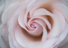 Beautiful close up of pink rose flower with delicate pastel colo Stock Images