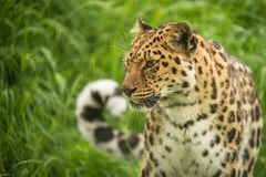 Beautiful close up portrait of Jaguar panthera onca in colorful Royalty Free Stock Image