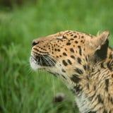 Beautiful close up portrait of Jaguar panthera onca in colorful Stock Photos