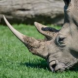Lovely profile close up portrait of Southern White Rhinoceros Rh Royalty Free Stock Photos