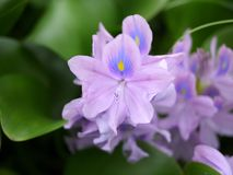Beautiful close up of purple common water hyacinth stock images