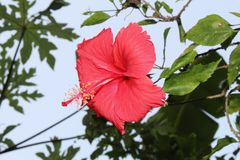 Beautiful close up of red hibiscus flower against blue sky with blank space for text stock photos