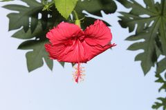 Beautiful close up of red hibiscus flower against blue sky with blank space for text royalty free stock image