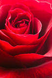 Beautiful close up red rose Royalty Free Stock Image